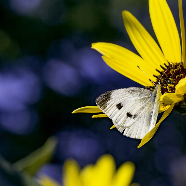"""""""White Cabbage Butterfly"""" stock image"""