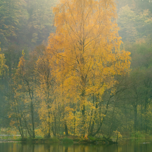 """A yellow tree, Skaralid - Soderasen is a national park in southern Sweden"" stock image"