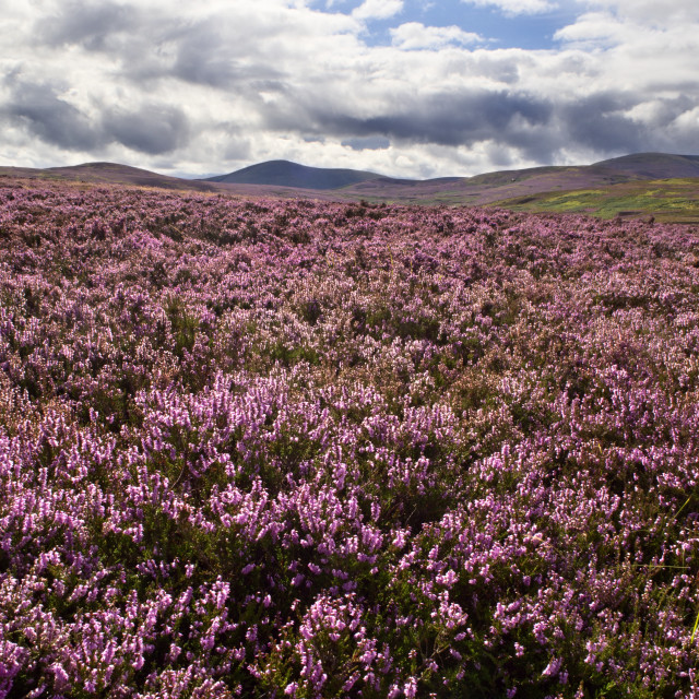 """View over Heather Moorland to The Cheviot"" stock image"