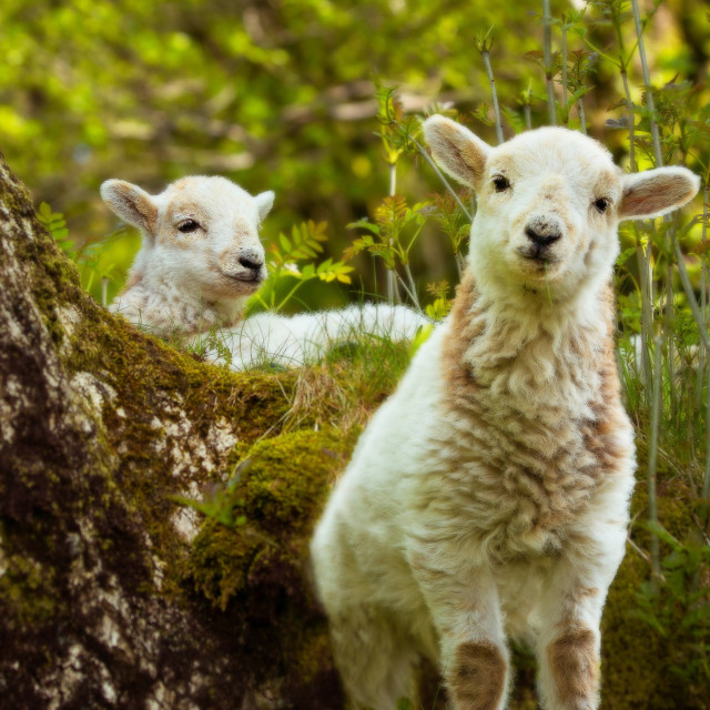 """Two spring lambs, looking at the camera"" stock image"
