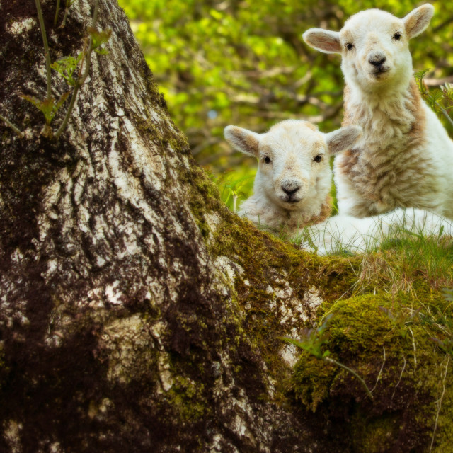 """""""Two spring lambs, looking at the camera"""" stock image"""