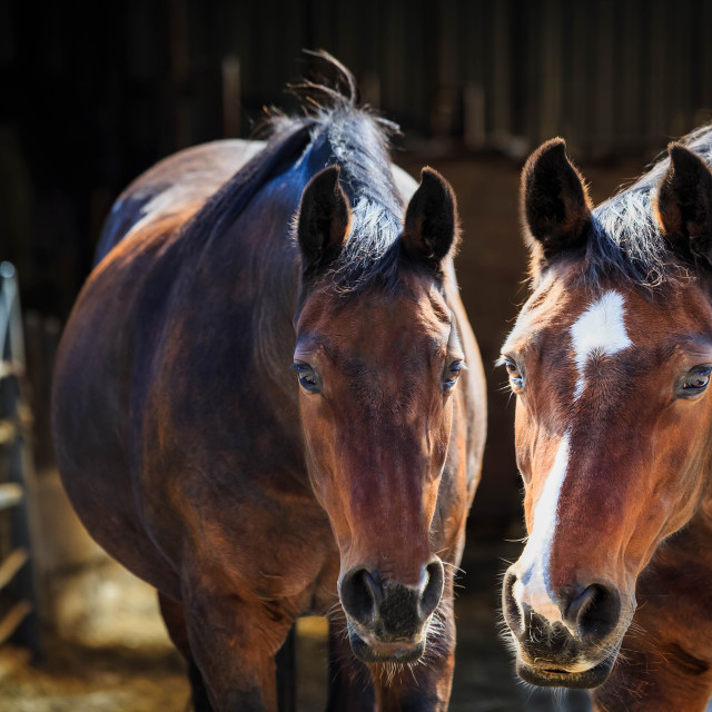 """Two brown horses together, looking at the camera"" stock image"