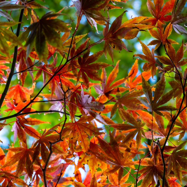 """Red maple leaves"" stock image"