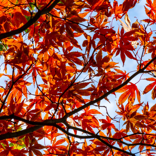"""Japanese maple leaves 2"" stock image"