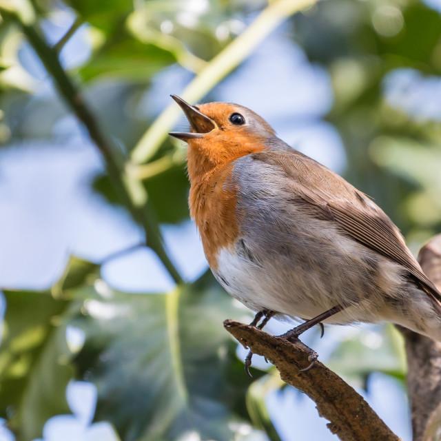 """Robin song"" stock image"