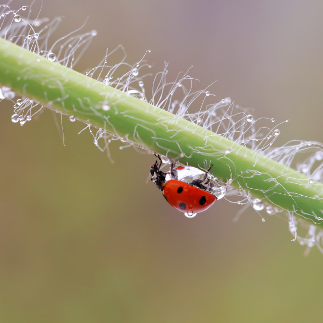 """A small red ladybird is walking around the plant and looking for aphids"" stock image"