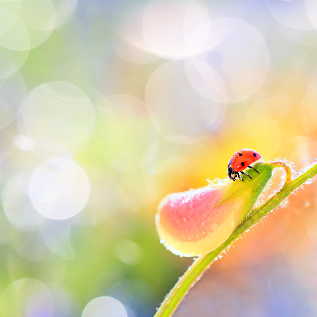 """A small red ladybird is walking around the flower"" stock image"