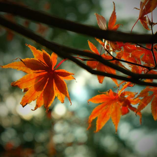 """Glowing maple leaves"" stock image"