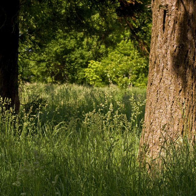 """""""Tree in Summer Grass"""" stock image"""