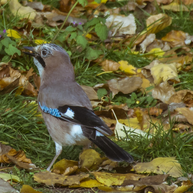 """""""A Jay in the Autumn"""" stock image"""