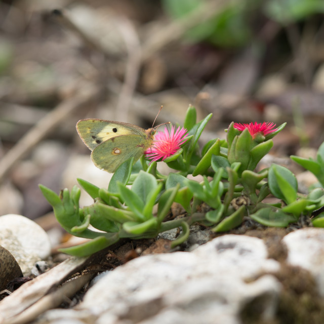 """""""Clouded Yellow Butterfly"""" stock image"""