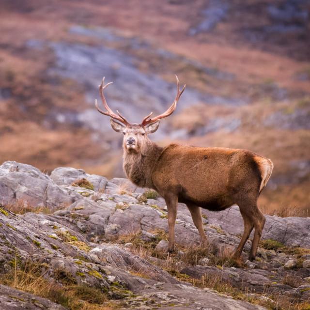 """Wild stag"" stock image"