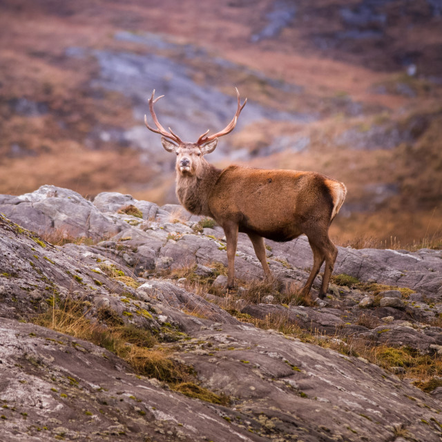 """""""A wild stag"""" stock image"""