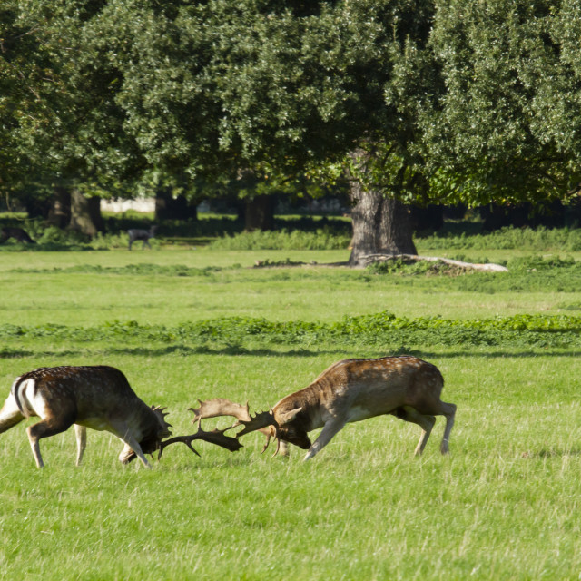 """""""Rutting young stags"""" stock image"""