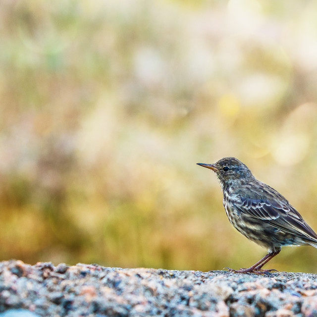 """""""A wild bird perched on a wall"""" stock image"""