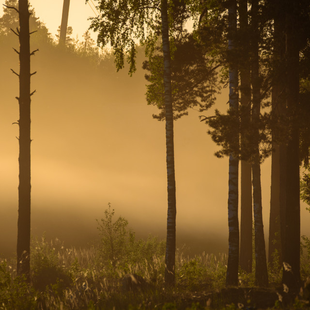 """""""Evening light in forest."""" stock image"""