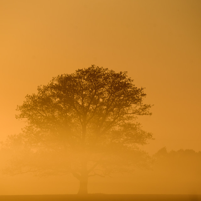 """""""Lonely tree on field. Dramatic yellow sky and fog , during sunset."""" stock image"""