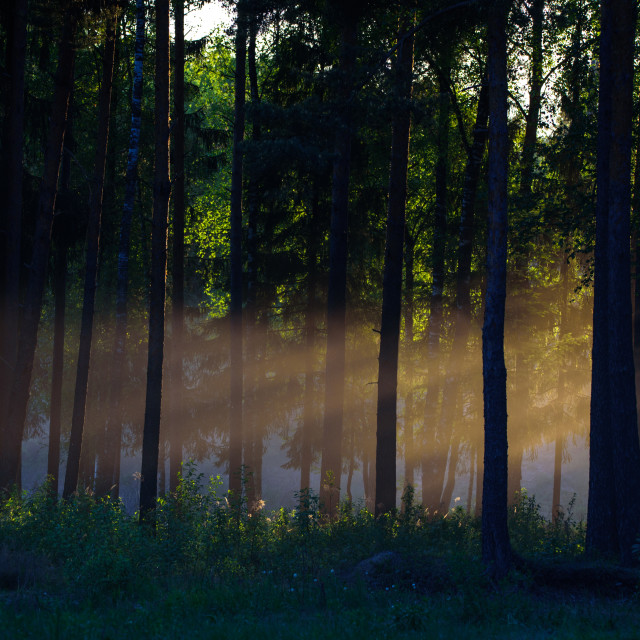 """""""Sun is shining between trees. Evening light in forest."""" stock image"""