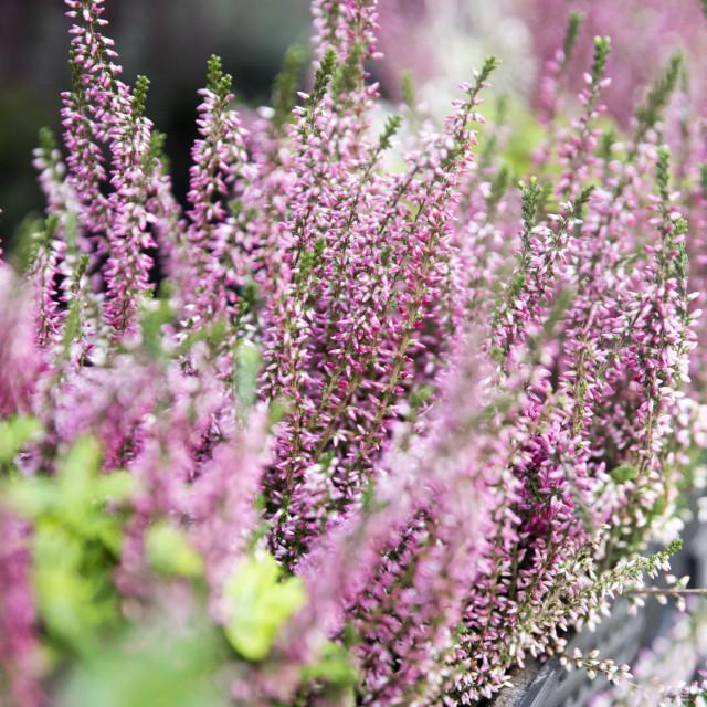 """nice small lavender in prague city center"" stock image"