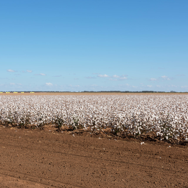 """Cotton Crop"" stock image"