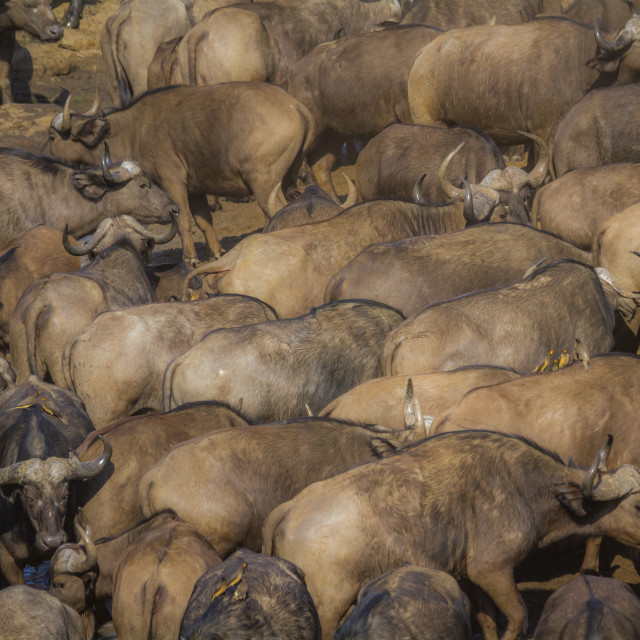 """""""African buffalo in Kruger National park, South Africa"""" stock image"""