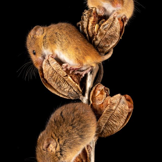 """Harvest Mice on plant"" stock image"