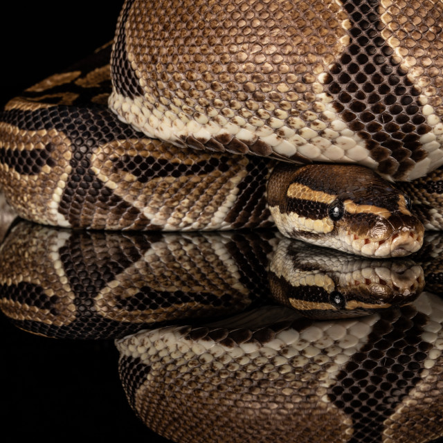 """Snake with reflection"" stock image"