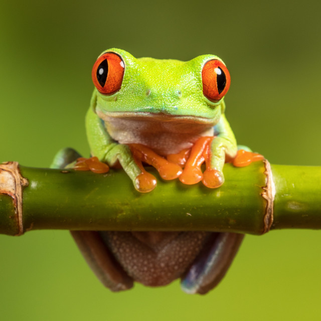 """Tree Frog"" stock image"