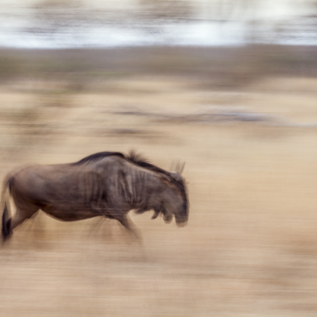"""Blue wildebeest in Kruger National park, South Africa"" stock image"