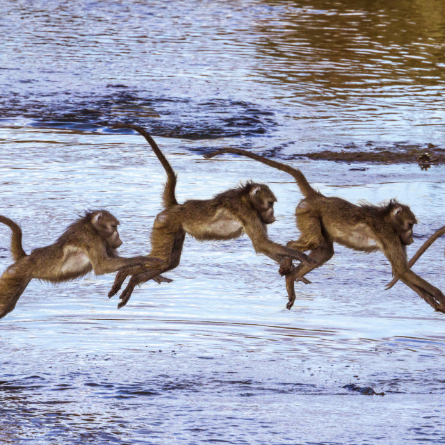 """""""Chacma baboon in Kruger National park, South Africa"""" stock image"""