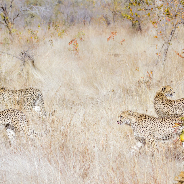 """""""Cheetah in Kruger National park, South Africa"""" stock image"""