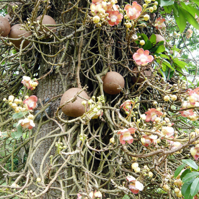 """Cannon Ball Tree - fruit"" stock image"