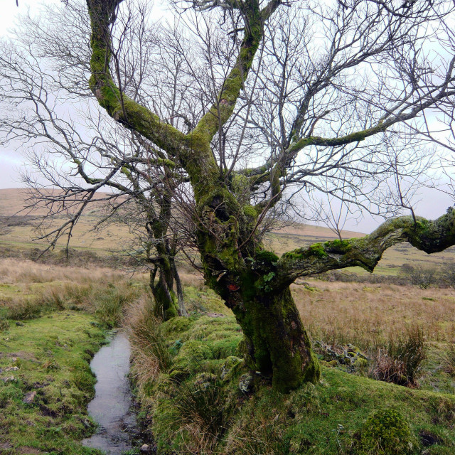 """Ditch and ancient boundary, Dartmoor"" stock image"