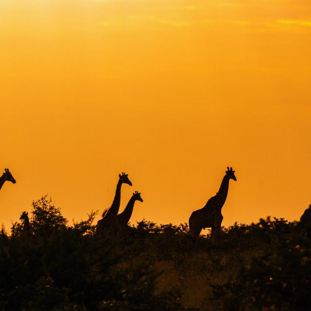 """Giraffe in Kruger National park, South Africa"" stock image"