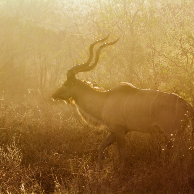 """Greater kudu in Kruger National park, South Africa"" stock image"