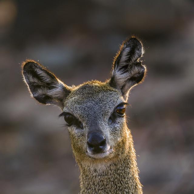 """""""Klipspringer in Kruger National park, South Africa"""" stock image"""