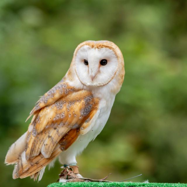 """The barn owl (Tyto alba)"" stock image"