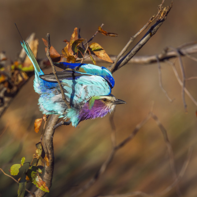 """""""Lilac breasted roller in Kruger National park, South Africa"""" stock image"""