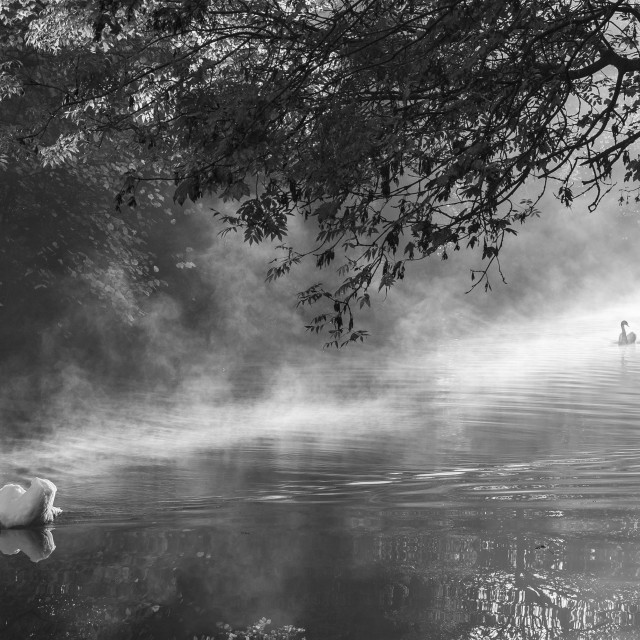 """Swans in the Mist"" stock image"