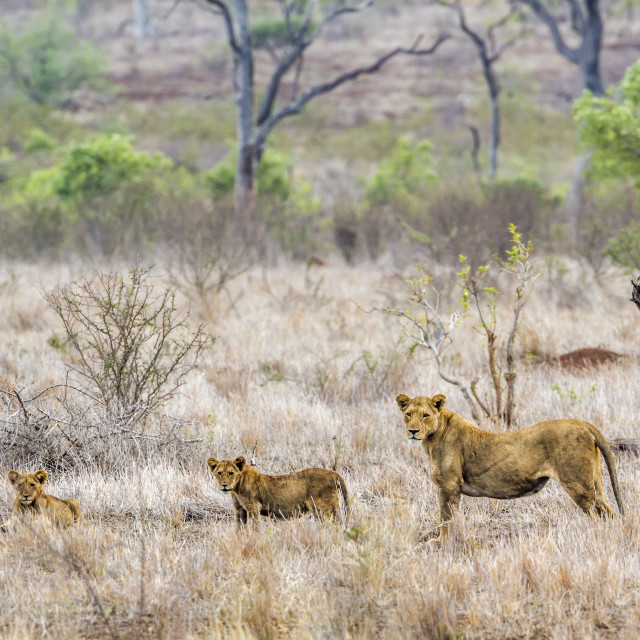 """African lion in Kruger National park, South Africa"" stock image"