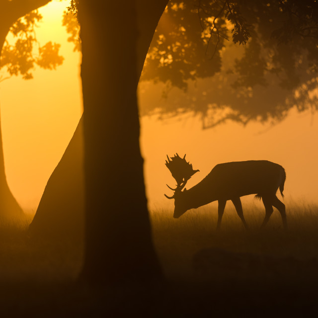"""Sunrise Deer Silhouette"" stock image"