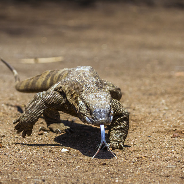 """""""Nile monitor in Kruger National park, South Africa"""" stock image"""