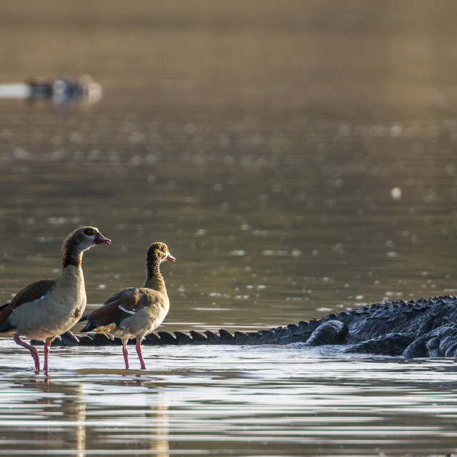"""""""Egyptian Goose and Nile crocodile in Kruger National park, South"""" stock image"""