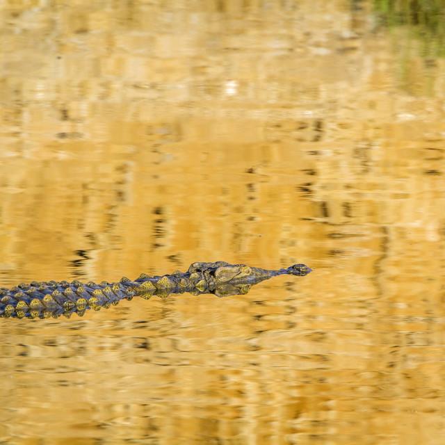 """Nile crocodile in Kruger National park, South Africa"" stock image"