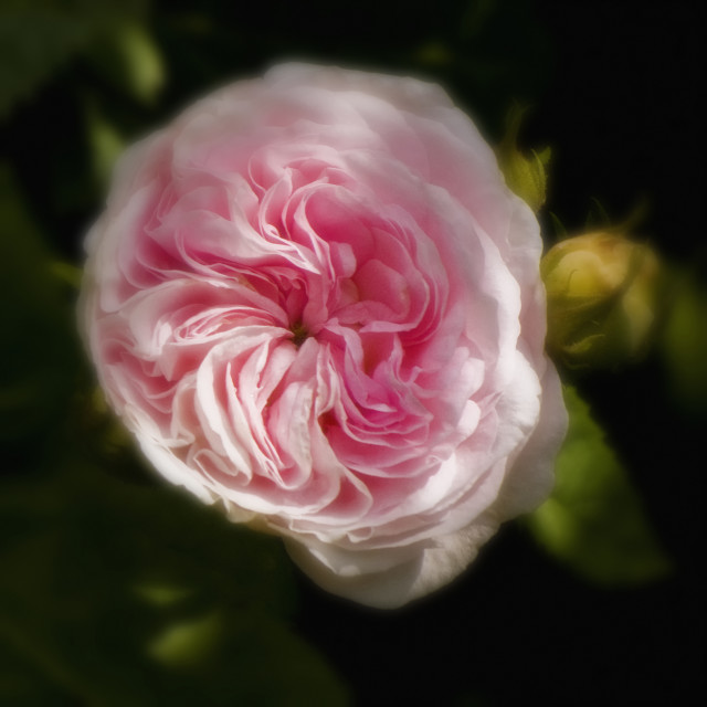 """""""Old Moss Rose"""" stock image"""