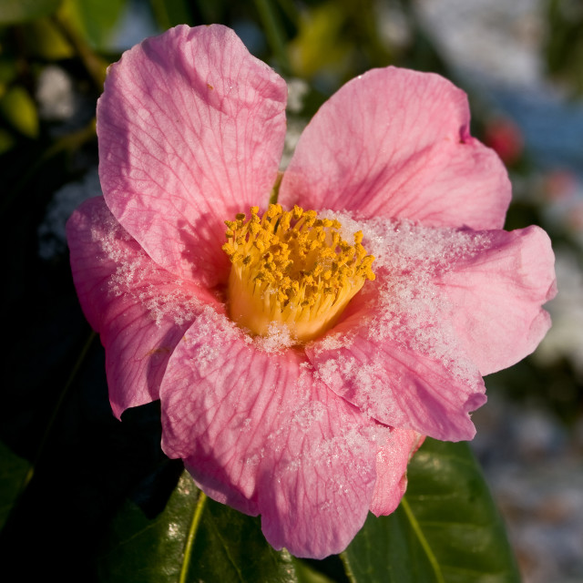 """""""Pink Camelia with Snow"""" stock image"""