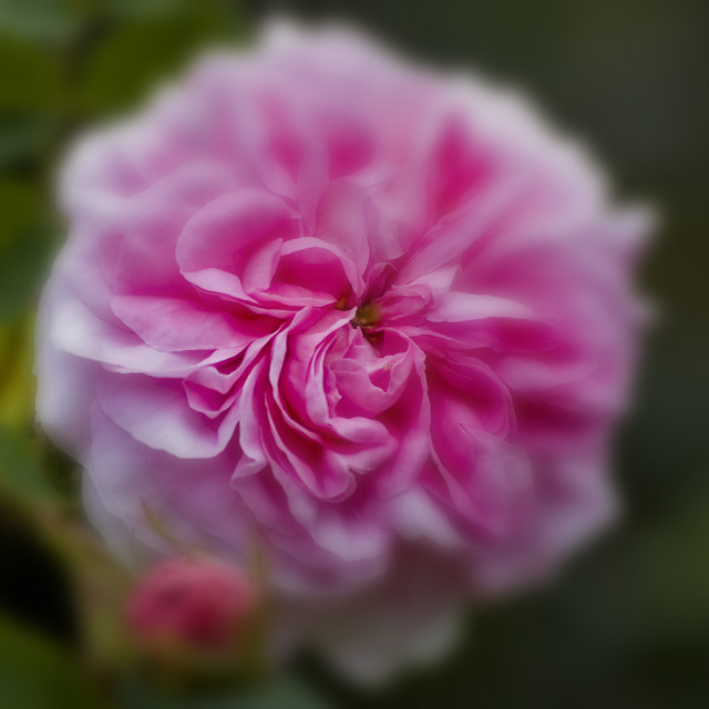 """""""Pink Scented Rose"""" stock image"""