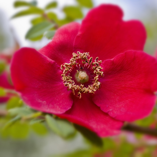 """""""Rose and Stem"""" stock image"""