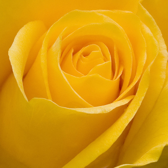 """""""Yellow Rose in Bud"""" stock image"""
