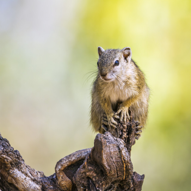 """Smith bush squirrel in Kruger National park, South Africa"" stock image"